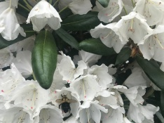 This rhododendron is also blooming off the charts this year.