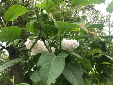 A second Moscow White Lilac is blooming