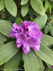 I like the color of this rhododendron