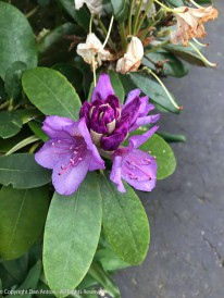 The last rhododendron is starting to bloom
