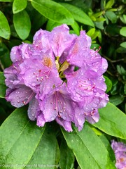 The rhododendron are filling out.