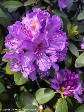 This might be the last picture of the rhododendrons. They are about to fade.