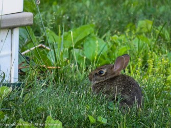 This is the newest baby bunny. Not much taller than the weeds it's eating.