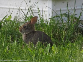 We have two baby bunnies. This it the little one.