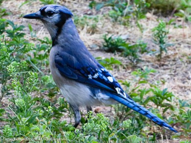 Hi Mr. Blue Jay.