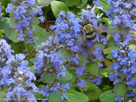 The Editor found this bee in the ground cover in the spring.