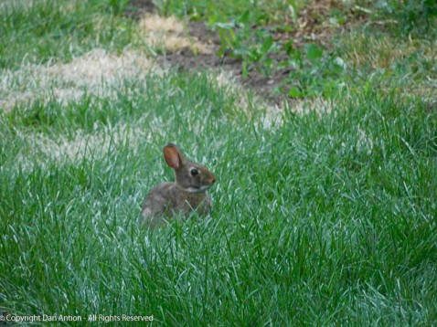 """Baby bunny in grass that is about 2"""" high."""