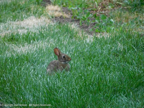 "Baby bunny in grass that is about 2"" high."