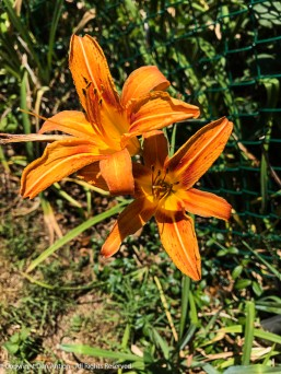 Daylilies arriving from our neighbor;s yard.