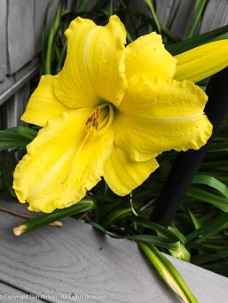 This poor flower hangs over our steps. It won't last too long, but it's pretty while it's around.