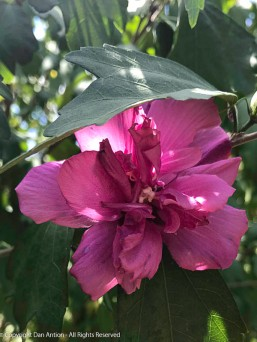 One of the double rose of sharon blossoms.