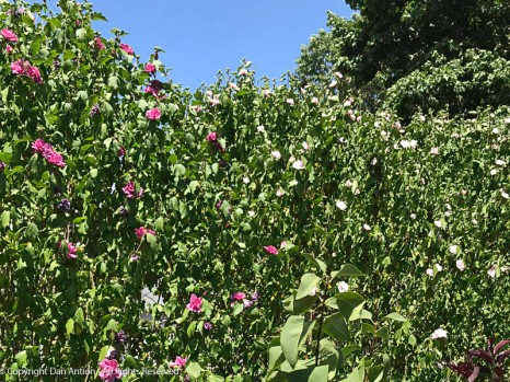 These are the double Rose of Sharon bushes, now in full bloom.