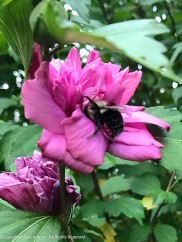 Bee exploring the double rose of sharon blossom.