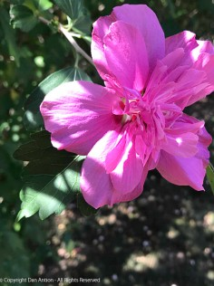 Double Rose of Sharon.