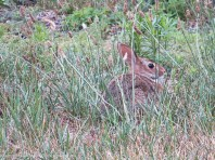 This is the smaller of the two bunnies.