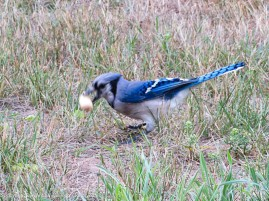 """Blue jay, snagging the squirrel's peanut. This guy flew in from about 80' 0""""(24.38m) away - sharp eyes."""