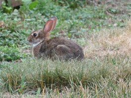 This is the bigger of the two baby bunnies in our yard.