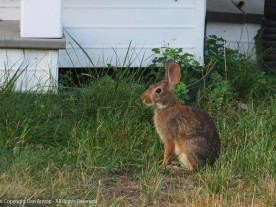 I think this is the larger of (now) three generations of baby bunnies this year.