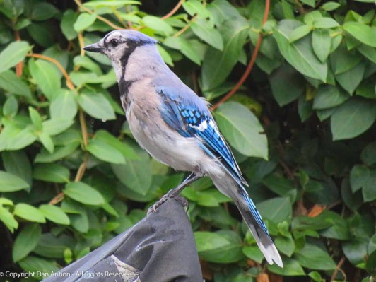 Bluejays also like peanuts.