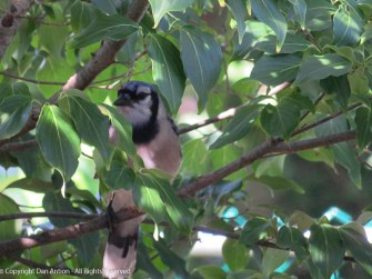 Mr Bluejay hiding in the Dogwood.