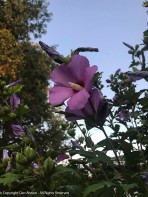 Very high Rose of Sharon.