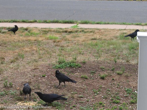 """My wife puts """"no-waste"""" birdseed out, but the crows ignore that. But they showed up for Special K."""