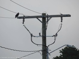 Crow number one, calling to its friend.