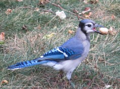 We tend to give the blue jays the single peanuts. They have to find a place to put them while they peck them open. I have not been able to get a picture of the process, but it looks like a lot of work.