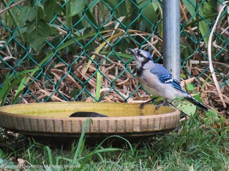 The blue jays seem to like the birdbath.