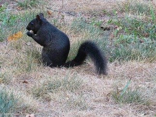 There are at least three black squirrels. This one is the boldest.