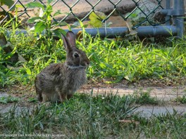 The bunnies eek out the few patches of green grass remaining in our very dry yard.