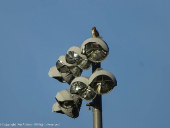Not Jinx - This is a hawk (not sure what kind) scanning the park for a meal. Maddie and I tried to look too big to eat.