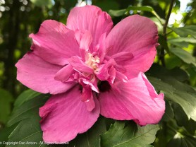 The double rose of sharon is enjoying its second shot this summer.