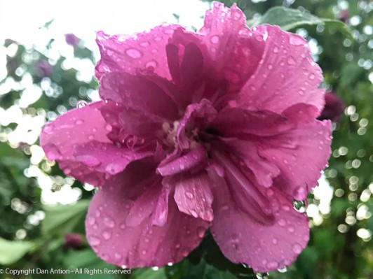 The double rose of sharon seems to be enjoying the rain.