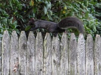 Smokey running along one of the neighborhood fences.
