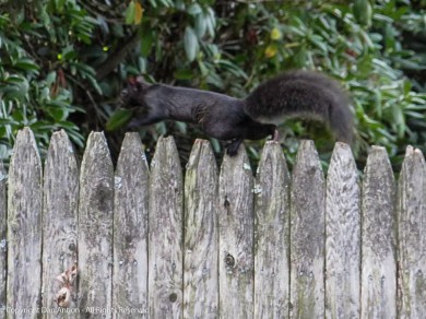 Smokey running along one of the neighborhood fences.