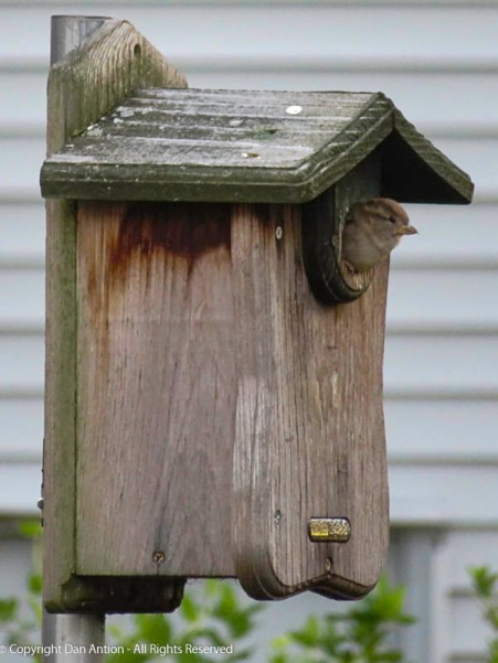 The birdhouse is usually empty until Snoopy returns in February. This guy showed up yesterday. It's a tight fit, but it looks like he's trying to make it work.