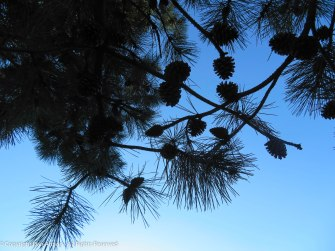 Pine cones getting ready to drop.