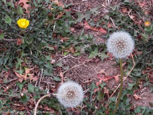 We haven't seen many dandelions this year due to the drought. Do you see the face? (upper left)