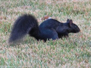 One of Smokey's cousins in a neighbor's yard.