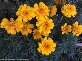 Marigolds still blooming.