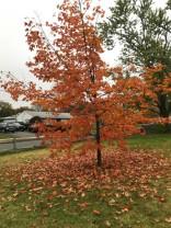 My favorite little maple tree will be bare soon.