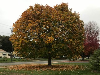 This is the tree that I follow throughout the year. It's dropping its leaves fast now.