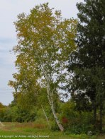 Birch trees aren't the most stable, but they are among the prettiest.