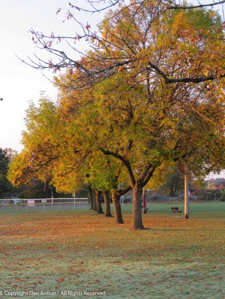 These trees separate the soccer fields and the baseball fields. They are losing their leave very fast.