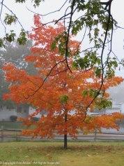 My favorite little Maple tree.