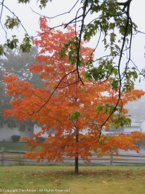 My favorite little Maple tree.