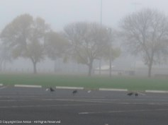 The crows were all over the parks the other day as we walked.