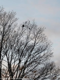 The crows can't hide.