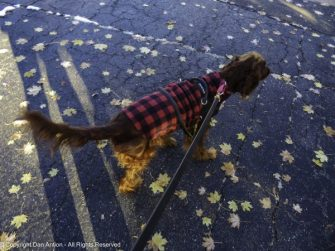 It dropped to 21°f (-6°c) overnight, so Maddie was sporting her Buffalo Plaid vest.